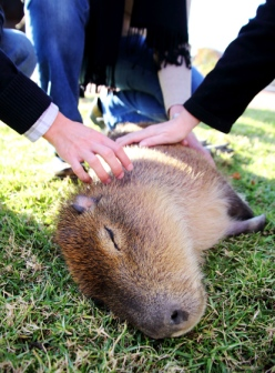 The resident Capybara at Bouza.